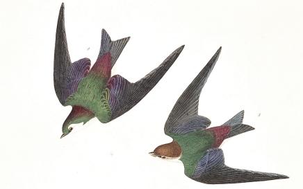 audubon bank swallow