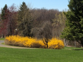 A typical sight in our landscape at the moment - a flurry of Forsythia. Not so 150 years ago.