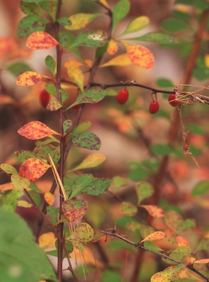 26 japanese barberry IMG_6836
