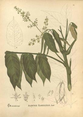 ailanthus3