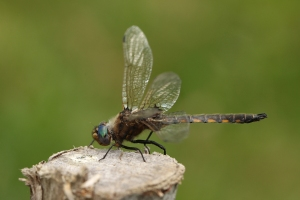 A Beaver Pond Baskettail, amongst our early-flying dragonflies. CLICK TO ENLARGE.