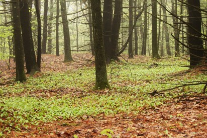 Canada Mayflower forest