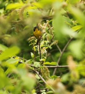 A Common Yellow Throat, one of our relatively recent warbler arrivals.... Witchity... Witchity.. CLICK TO ENLARGE.