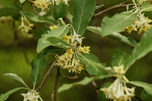 Eleagnus (Russian and Summer Olive) is now in sweet-scented bloom in many hedgerows. CLICK TO ENLARGE.