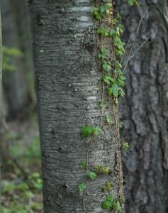 feral cherry bark