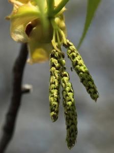 hikcory flower