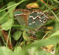 A Juniper Hairstreak form Dutchess County, look for these beautiful butterflies around Red Cedar.