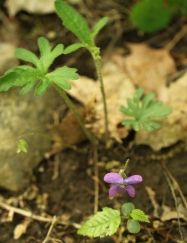 Palmate-leafed Violet, now flowering at a rocky area near you.  CLICK TO ENLARGE.