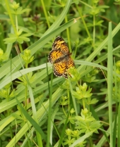 The most common native butterfly now about is probably the Pearl Crescent. CLICK TO ENLARGE.