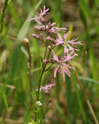 Ragged Robin, a sporadic non-native in our fields.  CLICK TO ENLARGE.