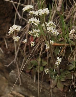 rock saxifrage