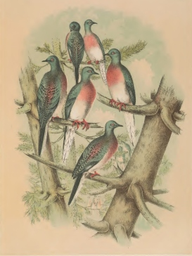 Studer's Birds of North America 1878