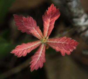 young oak leaves