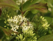 A pair of Longhorned beetles court on flowering Grey Dogwood. CLICK TO ENLARGE