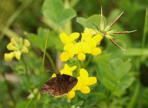 A Wild Indigo Duskywing rests on the flowers of Birdsfoot Trefoil. A somewhat rare species a century or so ago (how many times have you seen Wild Indigo?), this is now one of our most common Duskywings given its acceptance of Crown Vetch as caterpillar food. CLICK TO ENLARGE