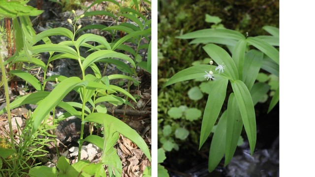 5 Starry False Solomon's Seal