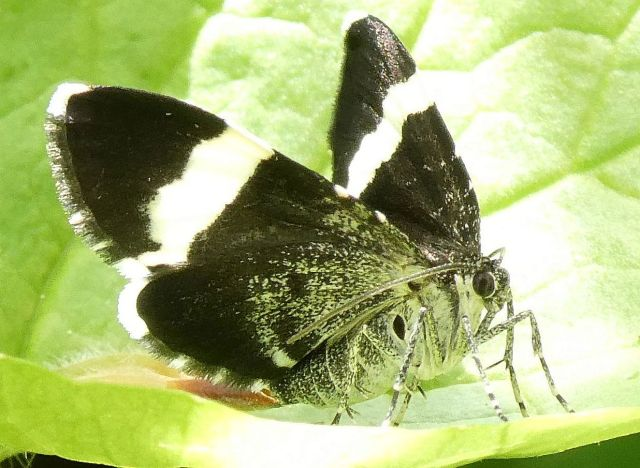 White-striped Black Moth