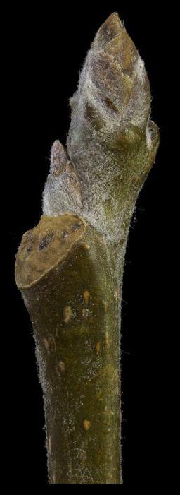Big-tooth Aspen bud