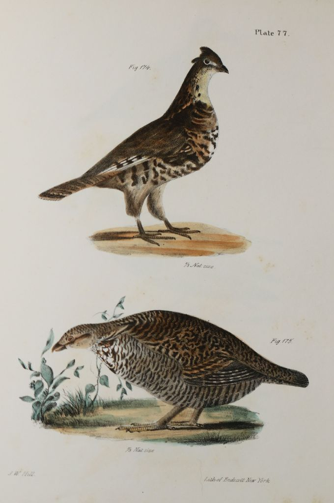 J.W. Hill's image of Ruffed Grouse