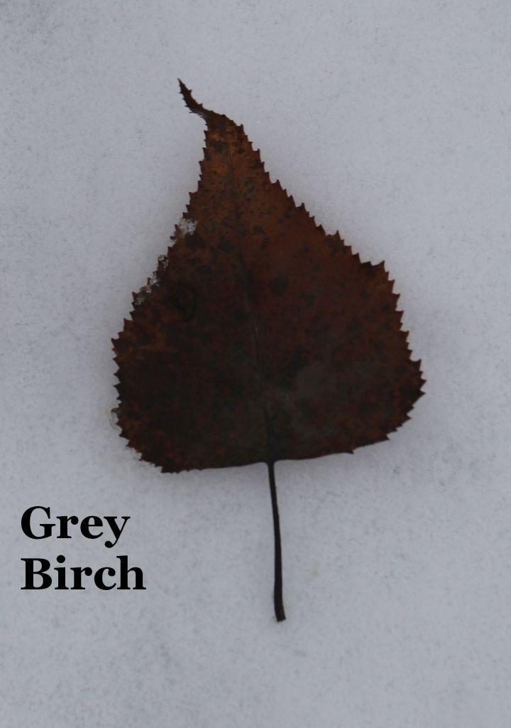 Grey Birch leaf
