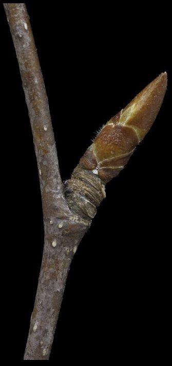Black Birch bud