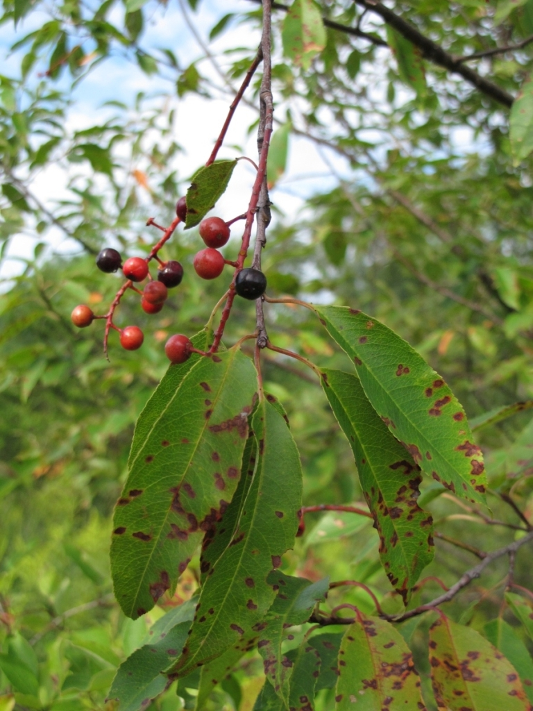Black Cherry fruits