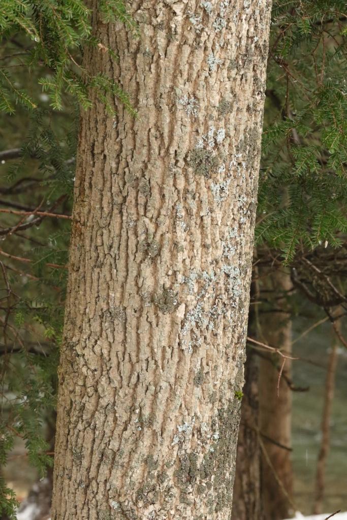 healthy ash bark