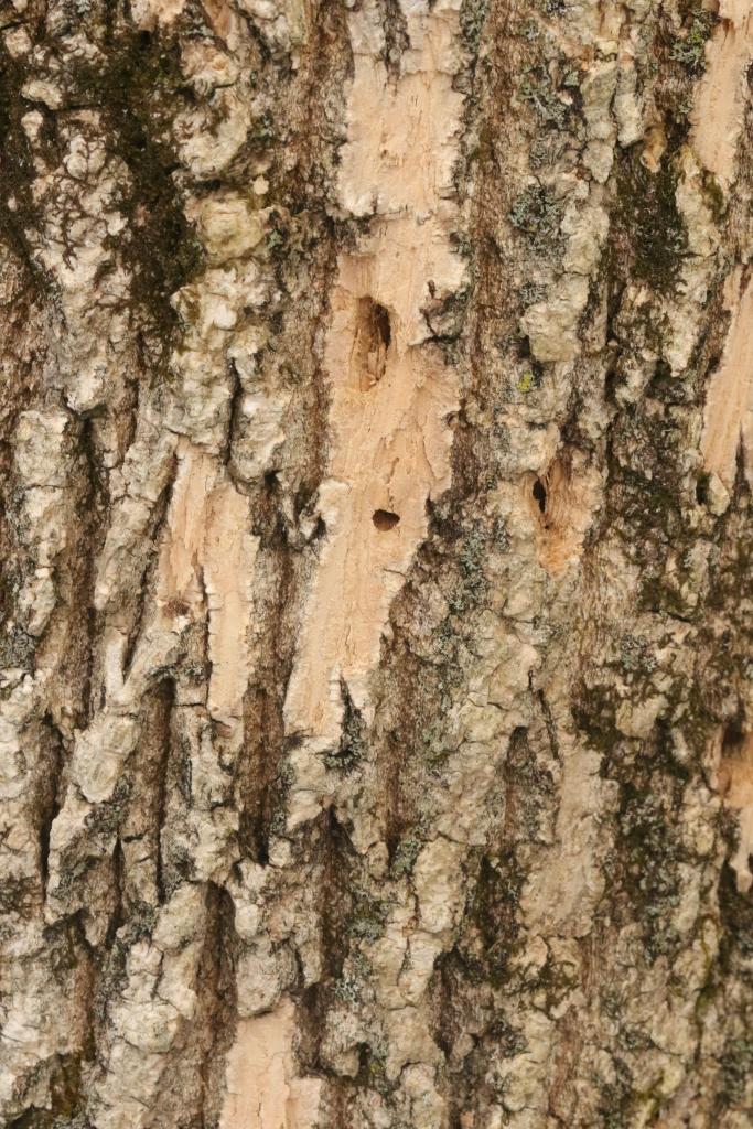 Emerald Ash Borer holes in ash bark