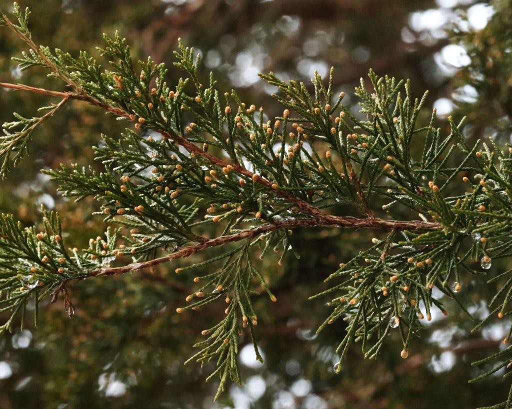 Eastern Red Cedar foliage