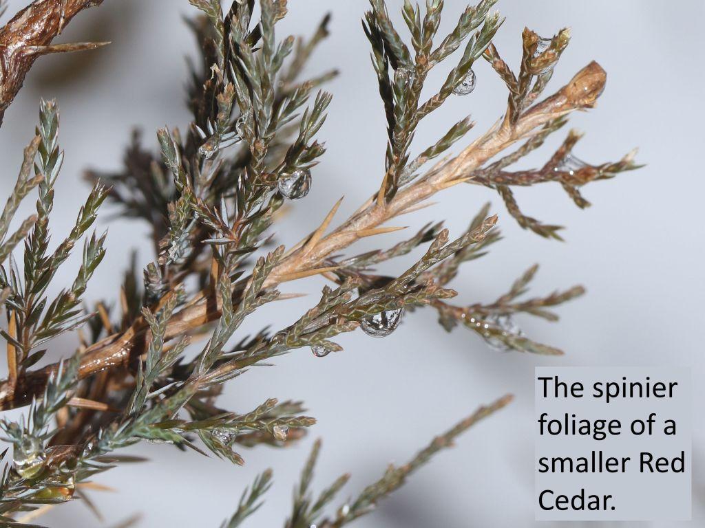 foliage of a small Eastern Red Cedar