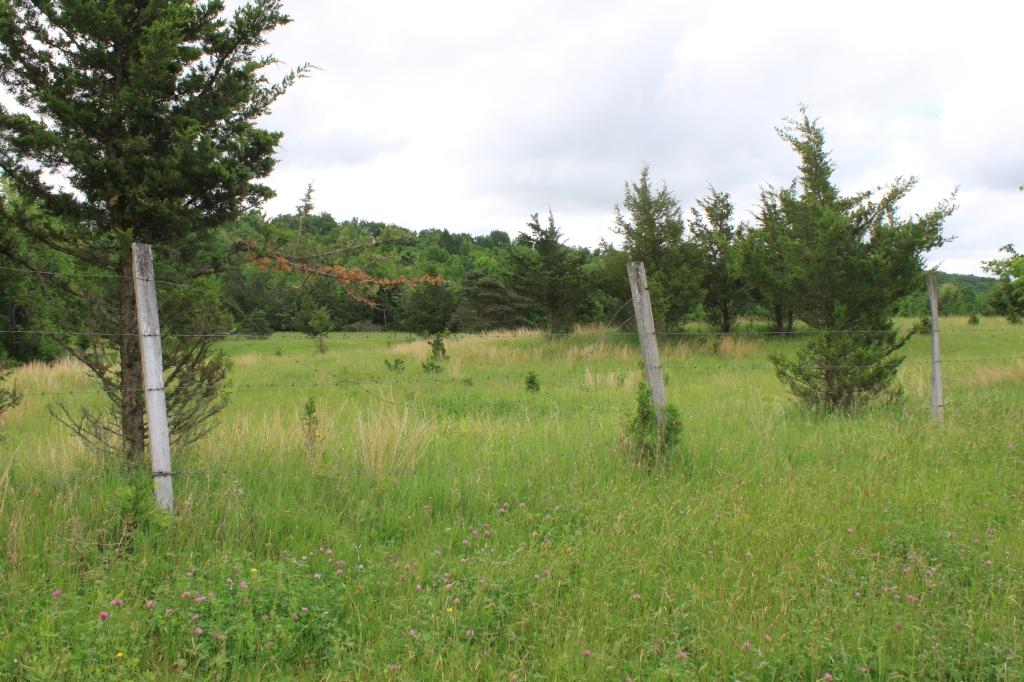Eastern Red Cedar in a pasture