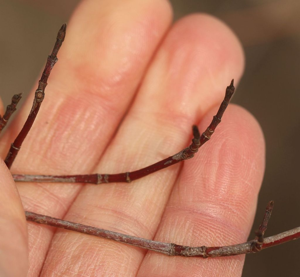 Grey Dogwood twig tips
