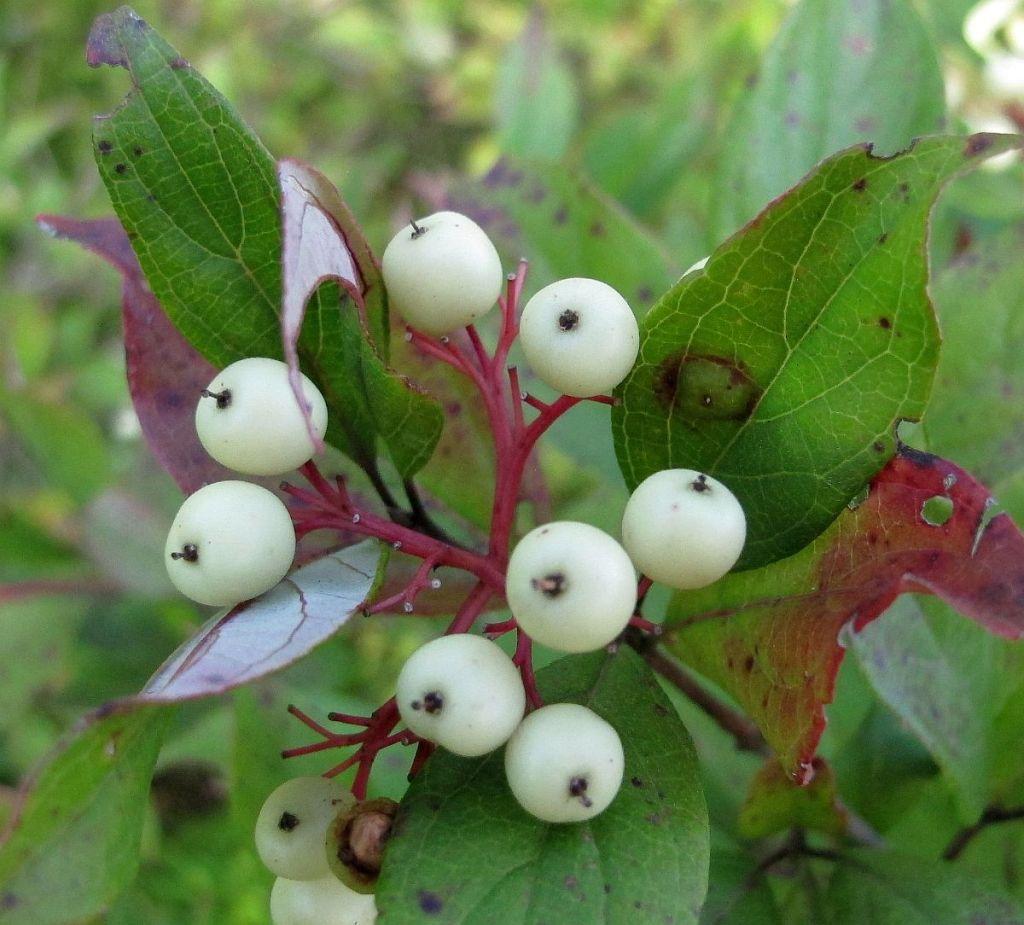 Grey Dogwood berries