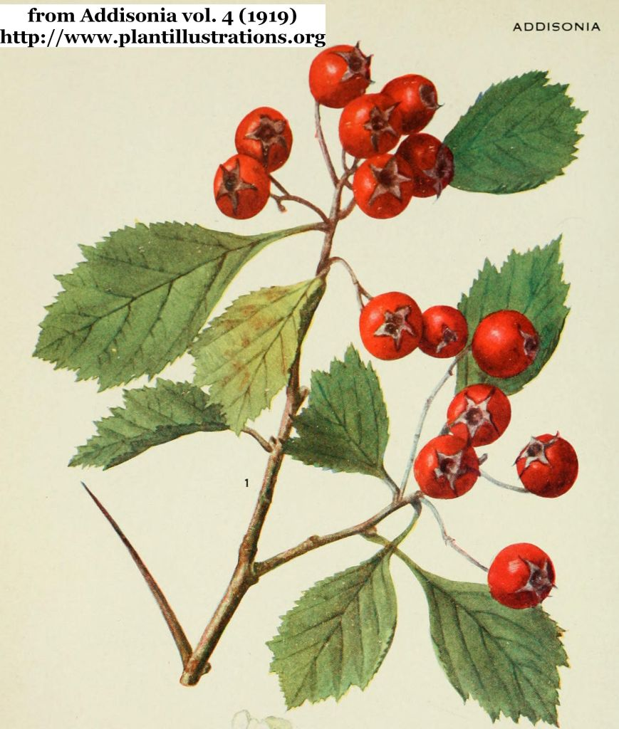 hawthorn leaves and haws