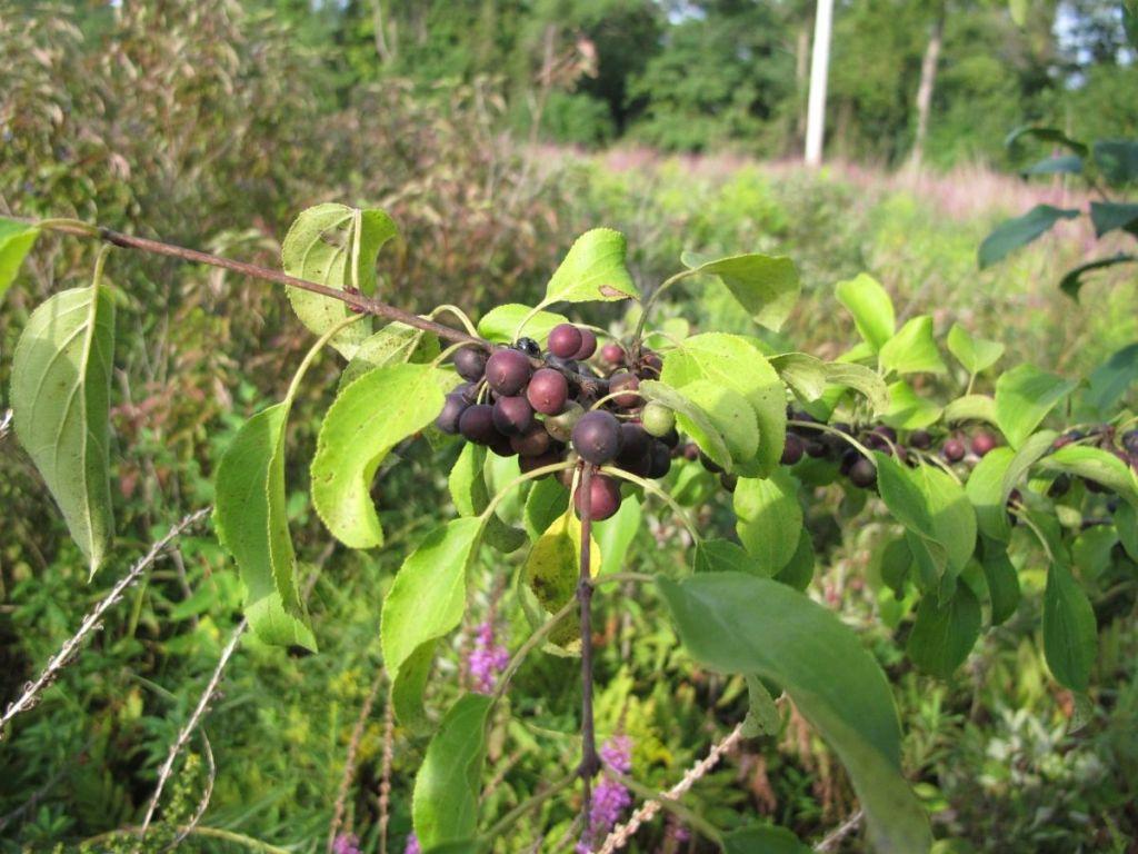 European Buckthorn fruits