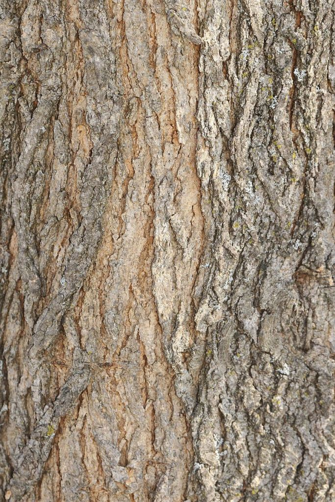 White Mulberry bark