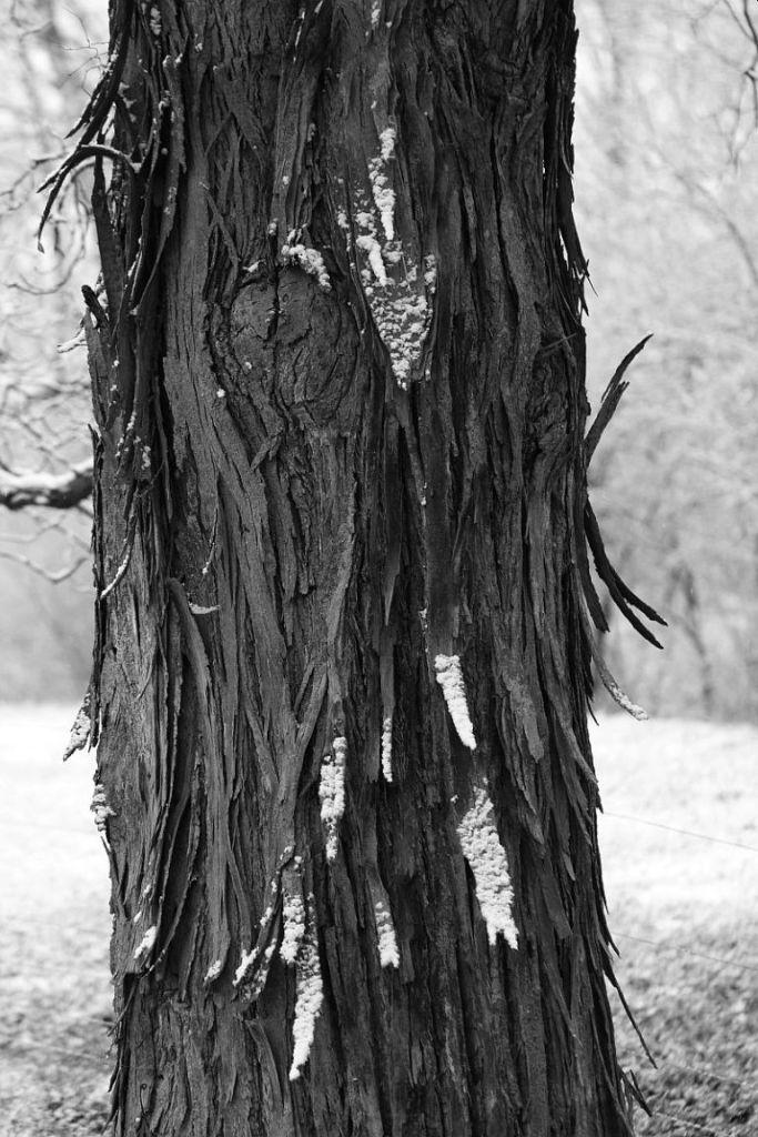 Shagbark Hickory bark