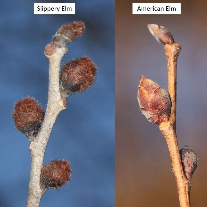 Slippery vs American Elm buds