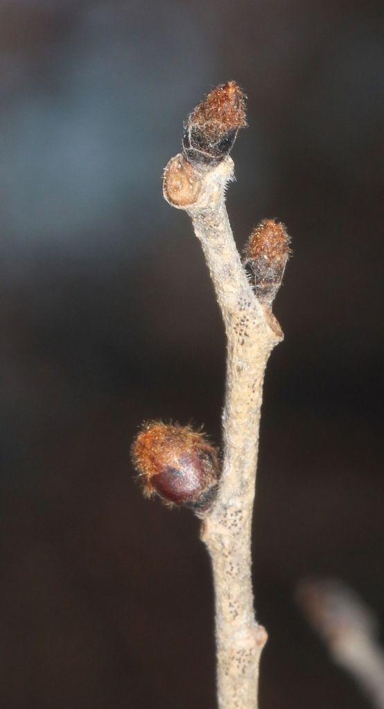 Slippery Elm buds