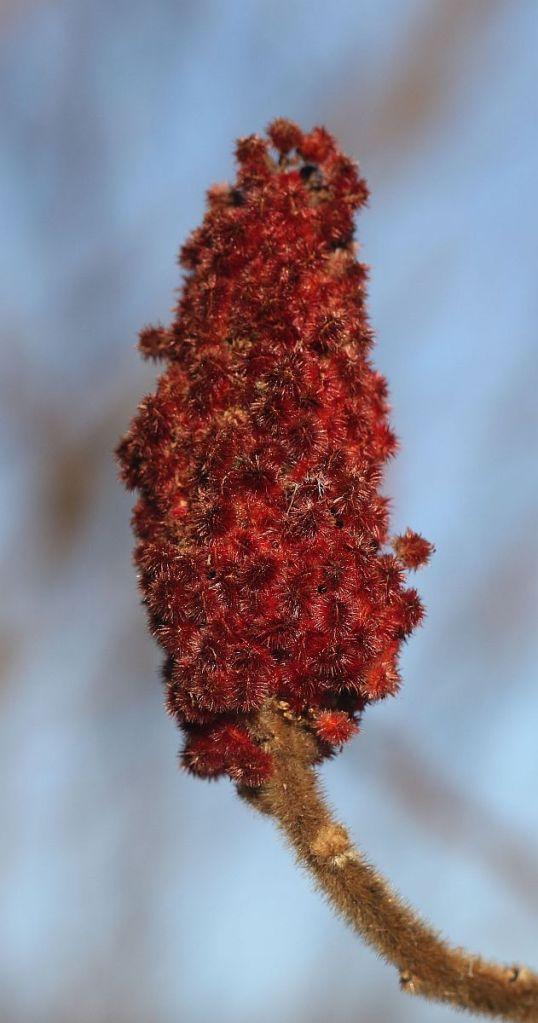 Staghorn Sumach fruit cluster