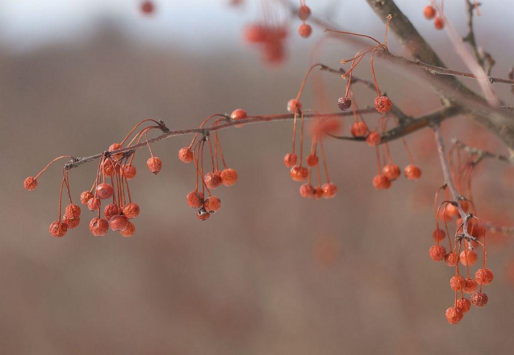 Toringo Crabapple fruits
