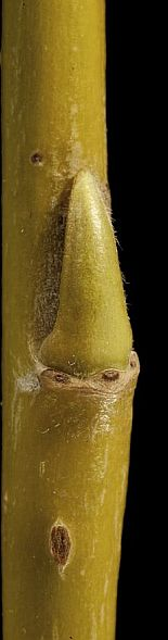 Willow bud