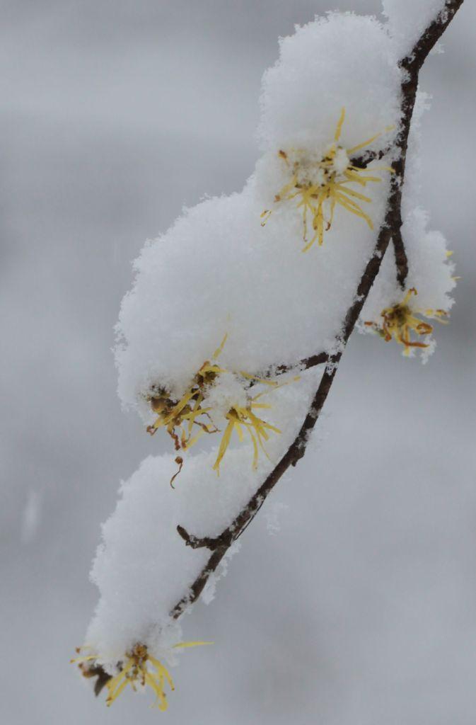 Witch-hazel flowers in snow