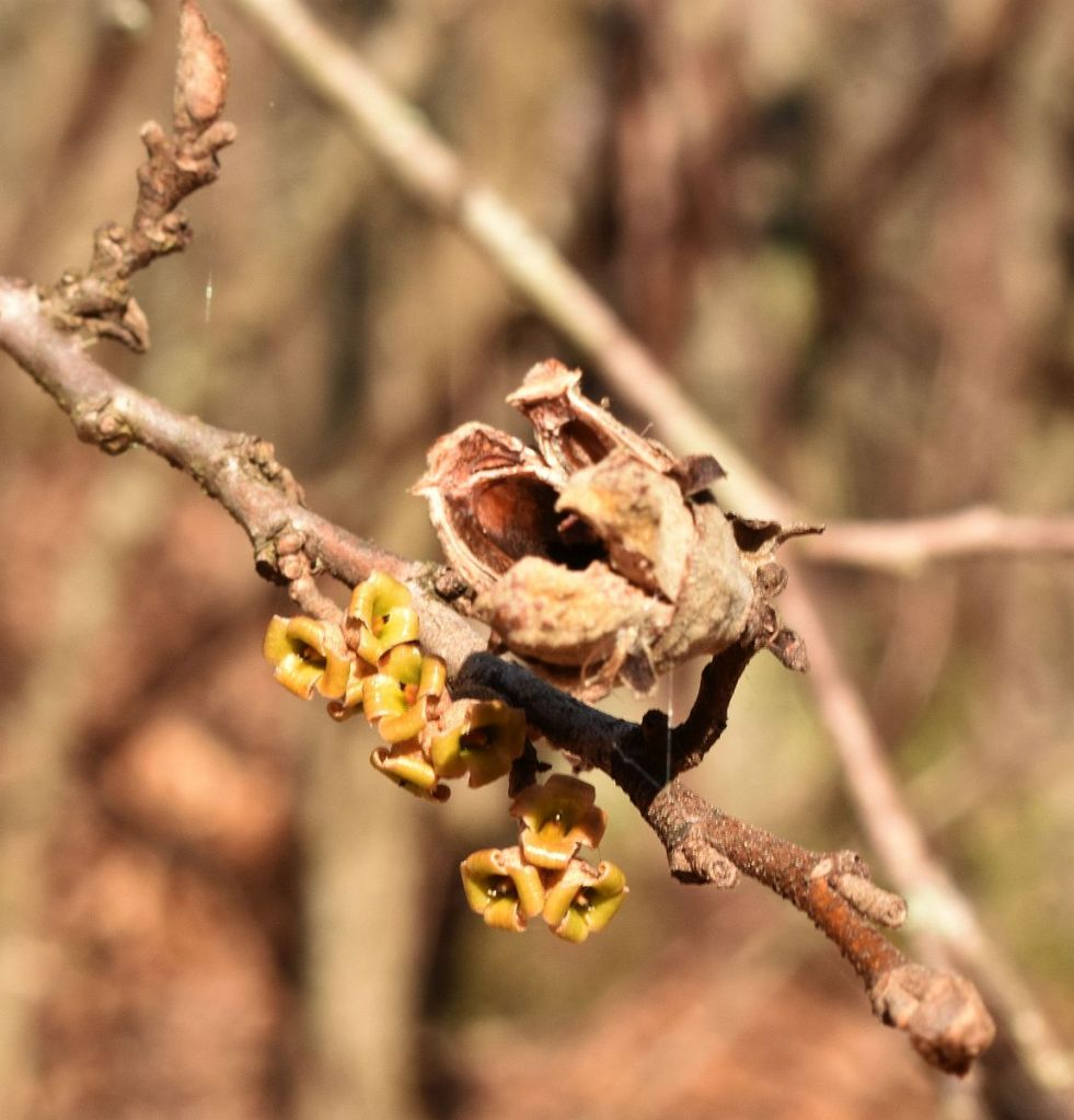 Witch-hazel flower remains and nut case