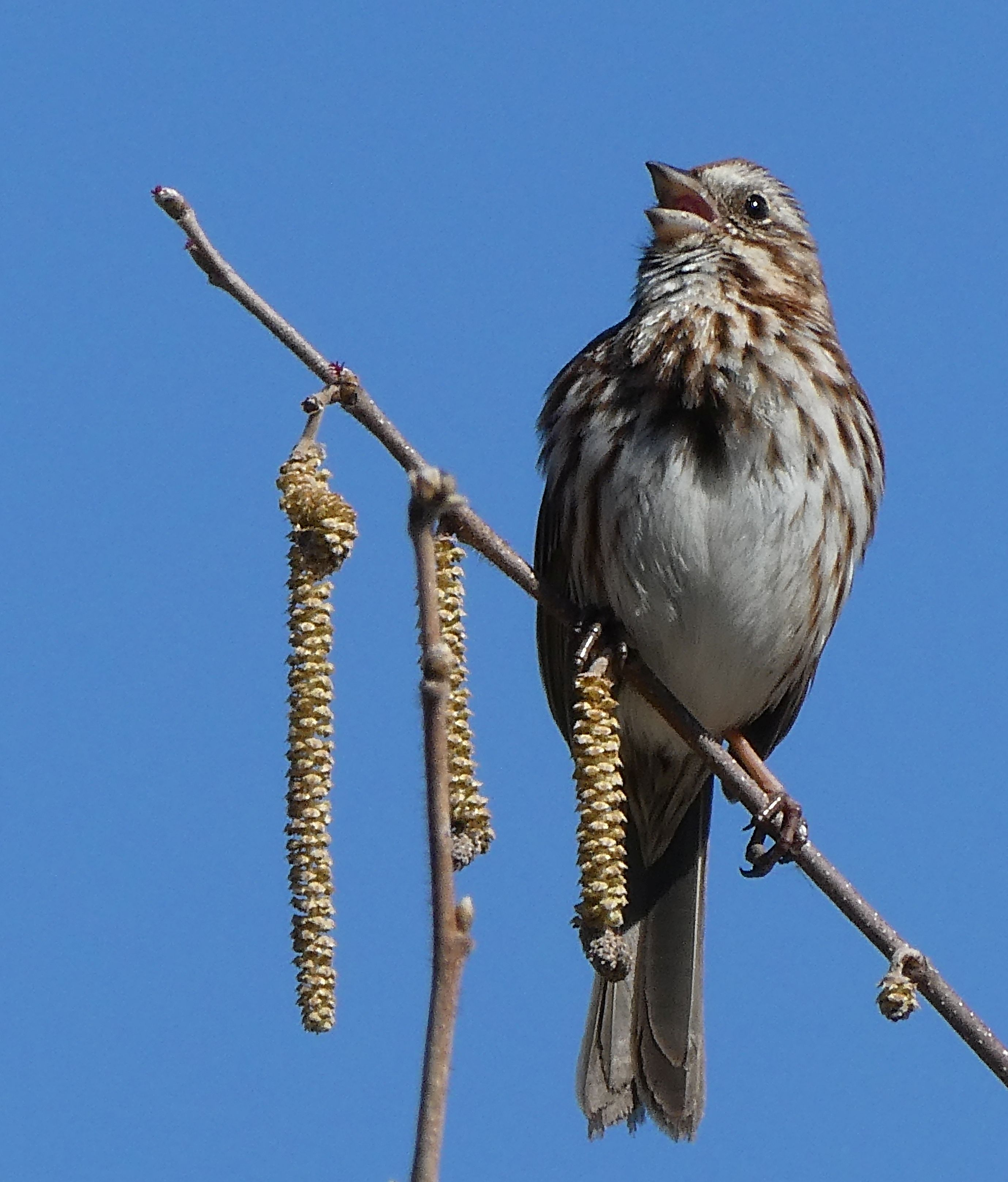 1 Sparrow singing