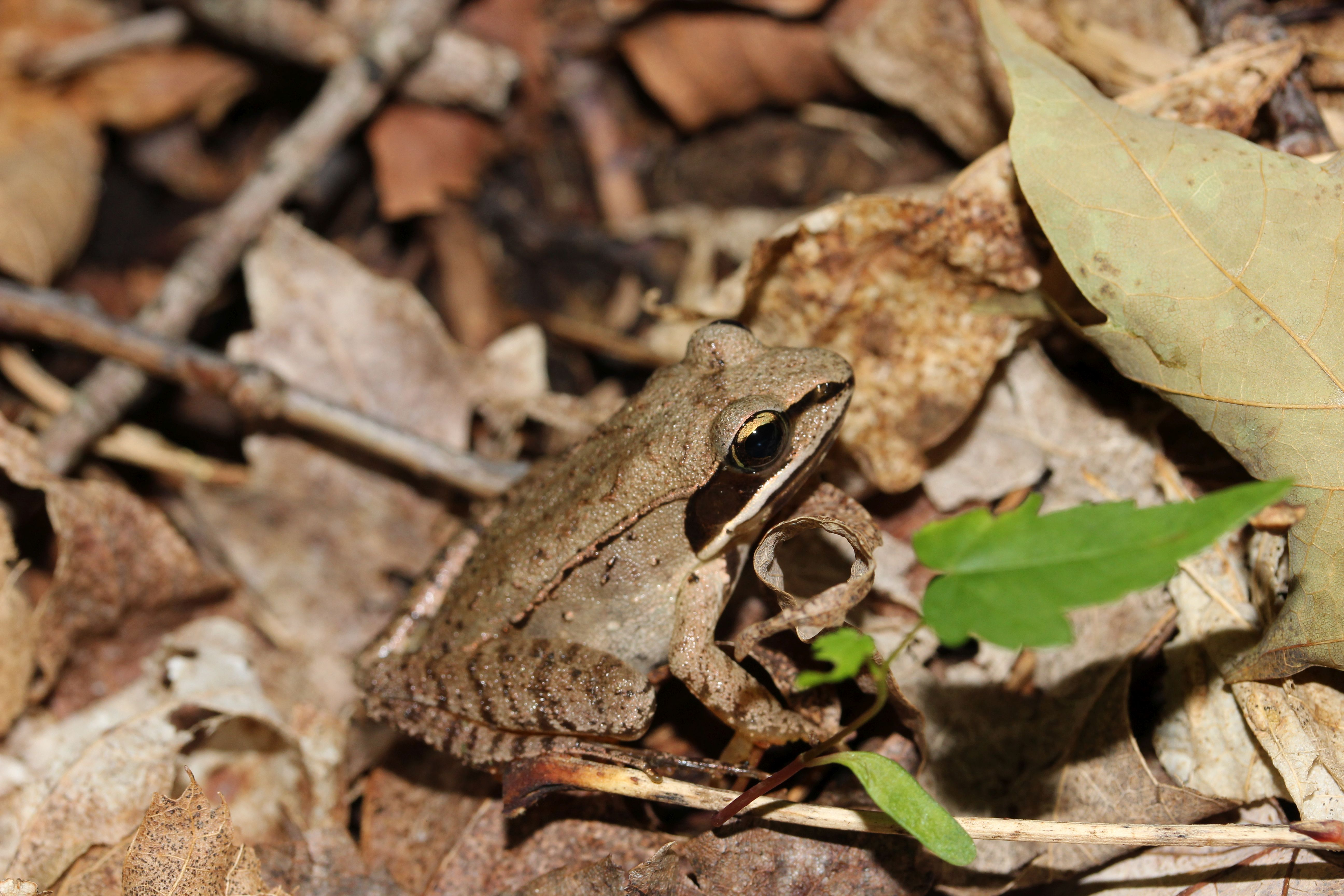 13 Wood Frog by Dylan IMG_9060
