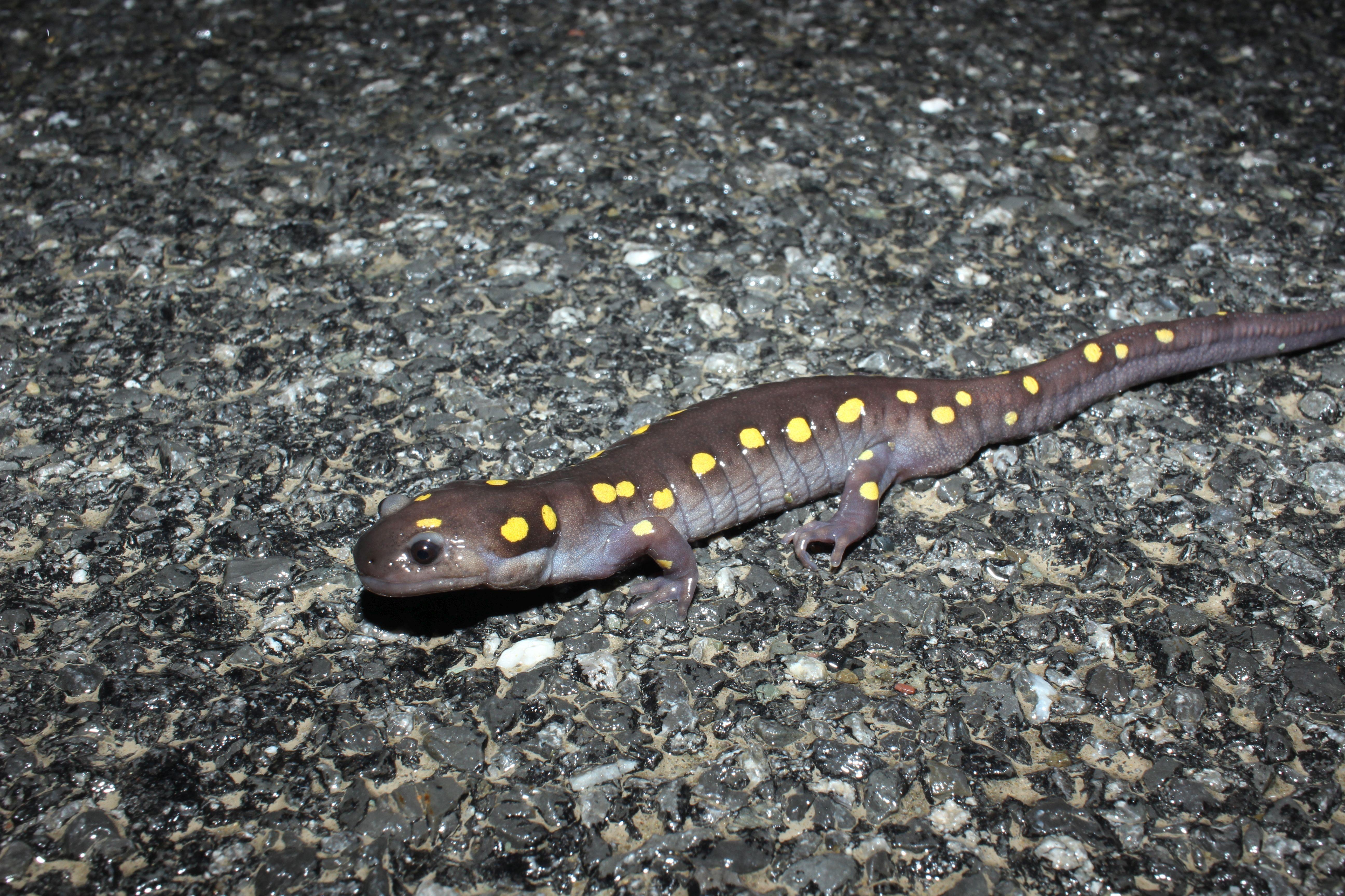 16 spotted salamander dylan