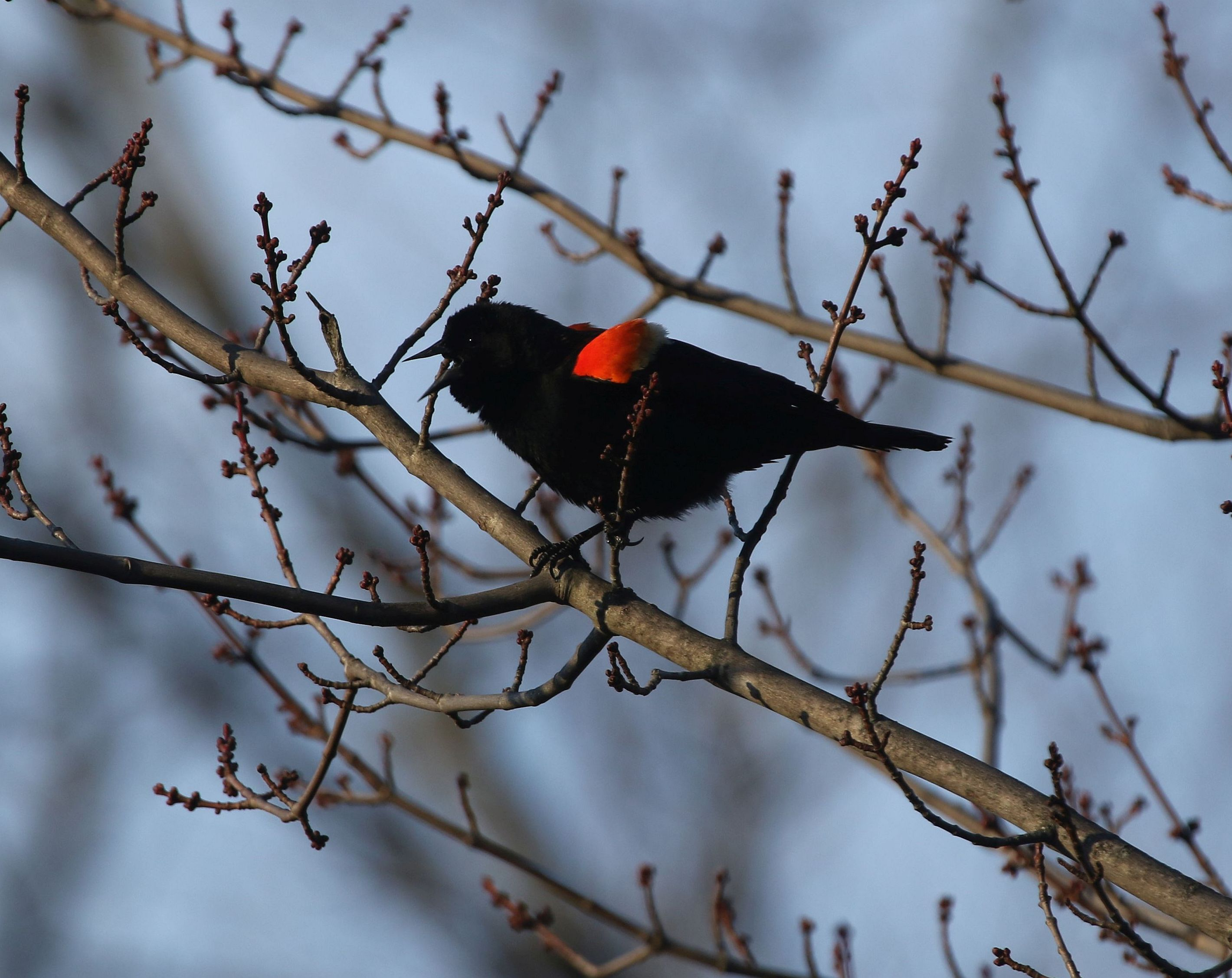 21 Red-winged Blackbird in Red Maple 3W5A6198