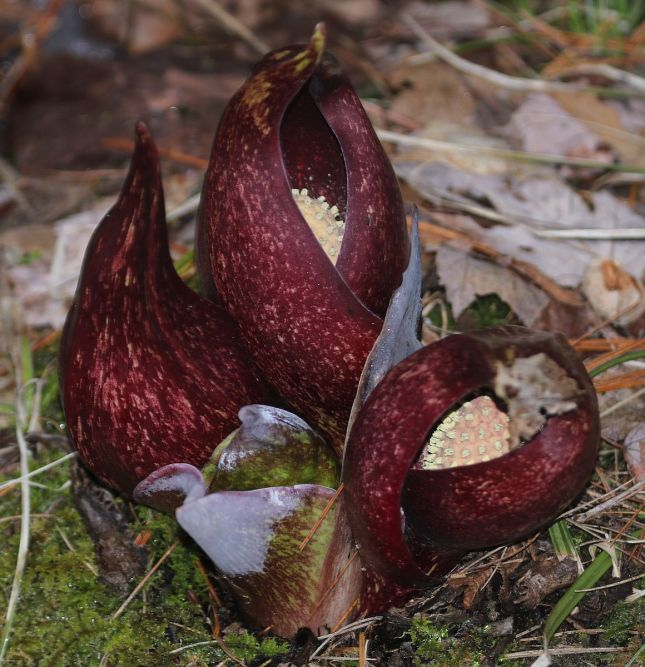 6 Skunk Cabbage Flowering option 1