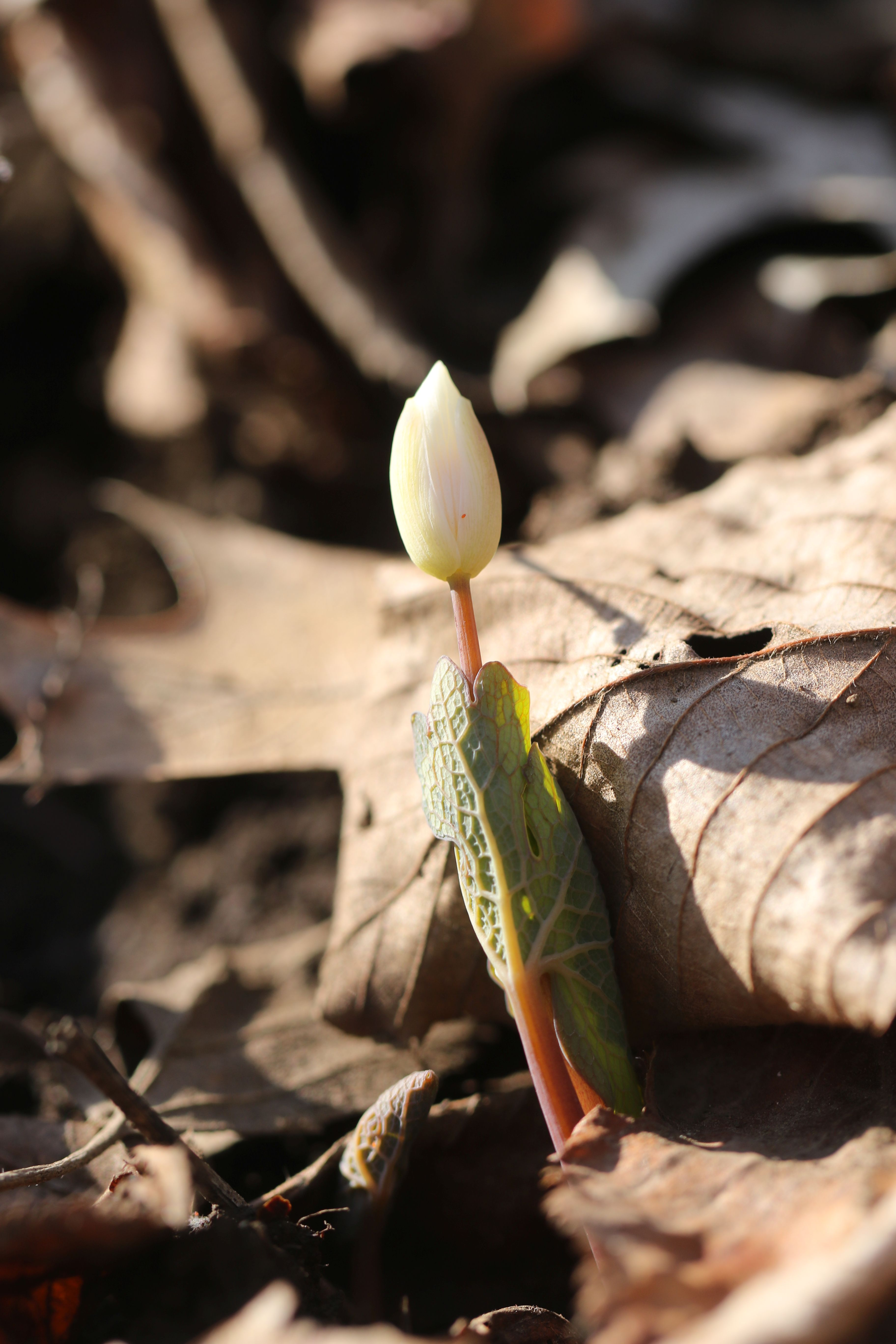 7 Bloodroot 3W5A8583